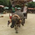 P1050395 -- water buffalo rides