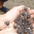 P1050721 -- soldier crabs