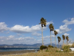 Palms lining the beach near Shirahama