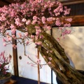 P1010130.JPG -- Ume-Bonsai exhibition