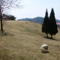 P1010495.JPG -- More sheeps
