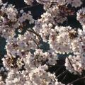 P1060370.JPG -- Sakura in full bloom
