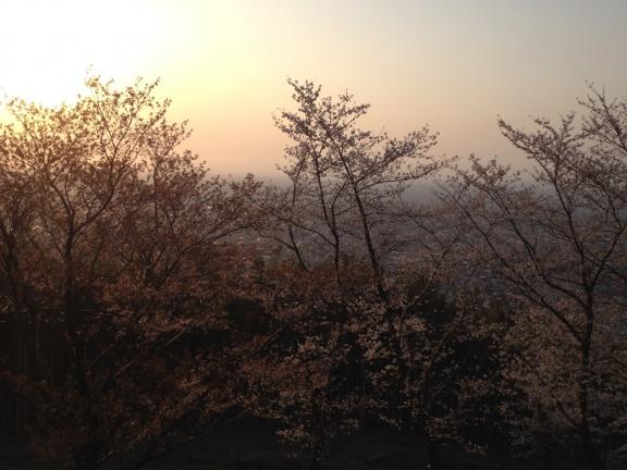 Evening sun through sakura