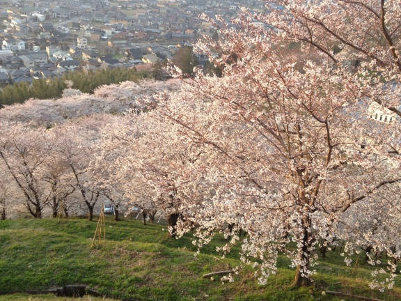 View down from the top of the hill into the sakura trees