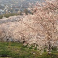 Photo 2014-04-08 17 44 08.jpg -- View down from the top of the hill into the sakura trees