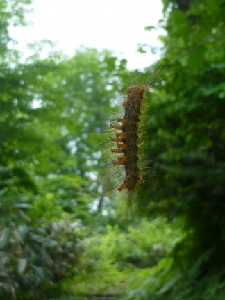 One of the thousands of caterpillars hanging on invisible strings in front of your face