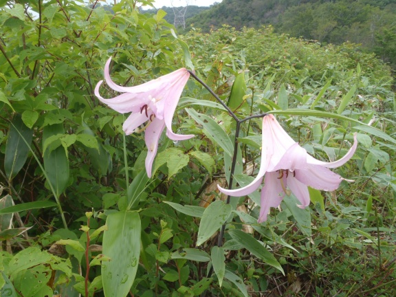 June-flowers, forgot the name, along the hiking path down