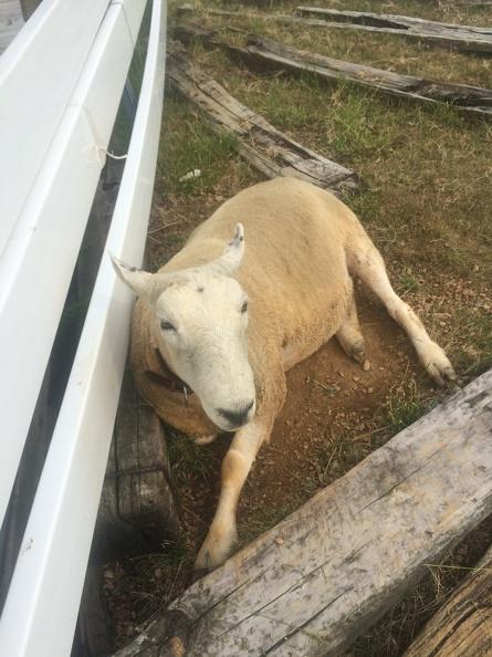 Sheep at the Kurobe Pastures
