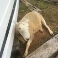 photo 6-13-15, 3 49 35 pm.jpg -- Sheep at the Kurobe Pastures