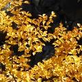 P1030252.JPG -- Leaves along the Hakusan White Road (Superrindo)