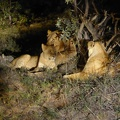 -- Lions relaxing