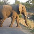 -- Elephant bathing n the morning light