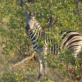 -- Zebra looking at us