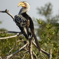 -- Banana beak bird, or more scientifically, southern yellow-billed hornbill