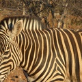 -- Zebra
