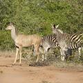 -- Kind of Impala and Zebra