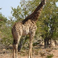 -- Inquisitive giraffe at the private game park