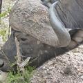 -- Water buffalo