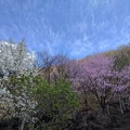2017-04-22 15.23.06.jpg -- The pink tree was spectacular